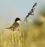Kleine Zwartkop    -    Mediterranean Warbler