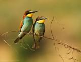 Bijeneter - Merops apiaster - Bee-eater