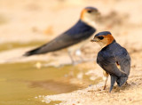 Roodstuitzwaluw    -    Red-rumped Swallow