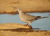 Turkse Tortel - Collared Turtle Dove