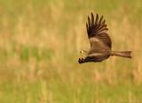 Zwarte Wouw    -    Black Kite