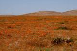 California Poppy Reserve, 2011