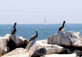 The Brown Pelican