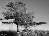 Oregon Tree.jpg