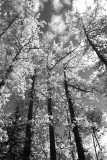 Forest Giants.jpg