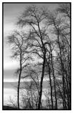 BW ParkTrees2.jpg