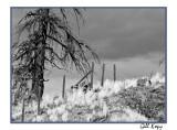Cariboo Tree.jpg