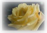 Yellow Rose4.jpg