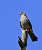 Red-footed Falcon Uppland