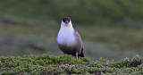 Long-tailed Skua Jämtland