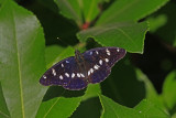 Southern White Admiral.jpg