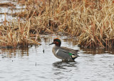 Green-Winged Teal  Amerikansk kricka.jpg