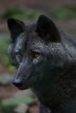 Wolf im Wildpark Hemfurth, Edersee