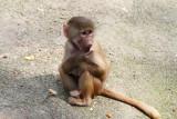 Kleiner Pavian im Tierpark Hagenbeck, veröffentlicht mit Genehmigung des Tierparks Hagenbeck