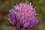 Schnittlauchblüte  -  Chives