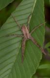 Nursery Web Spider.jpg