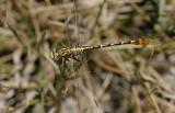 Flag-tailed Spinyleg.jpg