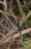 Little Blue Dragonlet1.jpg