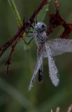 Blue Dasher covered in dew.jpg