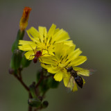 flower spider and fly 5.jpg
