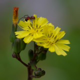 flower spider and fly 4.jpg