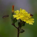 flower spider and fly 3.jpg
