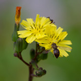 flower spider and fly 2.jpg
