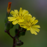 flower spider and fly 1.jpg