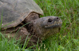 Snapping Turtle 3.jpg