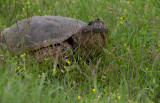 Snapping Turtle 2.jpg
