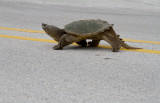 Snapping Turtle 1.jpg