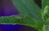 green lynx spider.jpg