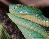 Honduran Palm Viper - (Bothriechis marchi)