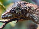 Cuban False Chameleon - (Chamaeleolis chamaeleonides)
