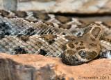 Santa Catalina Island Rattlesnake - (Crotalus catalinensis)