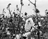 Lone Star Cotton