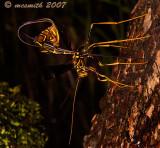 Giant Ichneumon - (Megarhyssa macrurus)