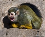 Screaming Squirrel Monkey
