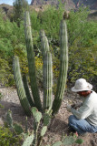 The organ pipe in its new home at Boyce Thompson Arboretum