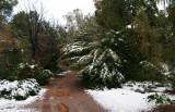 Flattened Carob Tree on the Main Trail