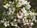 Chinese Flowering Chestnut - Xanthoceras sorbifolium