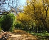 Geoffroea decorticans - Chilean Palo verde along the Main Trail