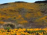 Poppies and Peridot Hill