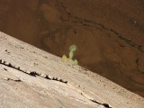 Prickly pear growing on the dam