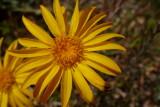 Machaeranthera sp. - Yellow Spiny Daisy