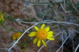 Gila Rock Daisy - Perityle gilensis