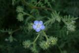 A very tiny phacelia flower
