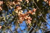 Desert Mistletoe berries