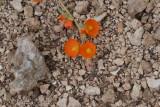 Desert Mallow