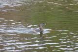 Grebe in Ayer Lake